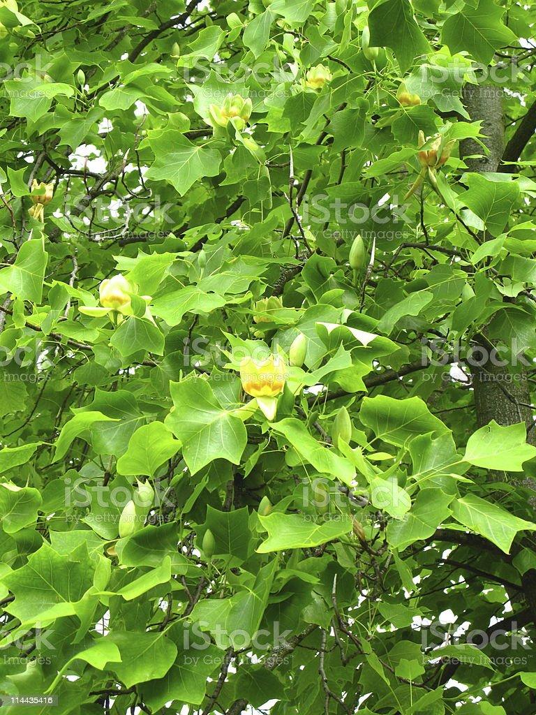 Liriodendron  - Tulpenbaum stock photo