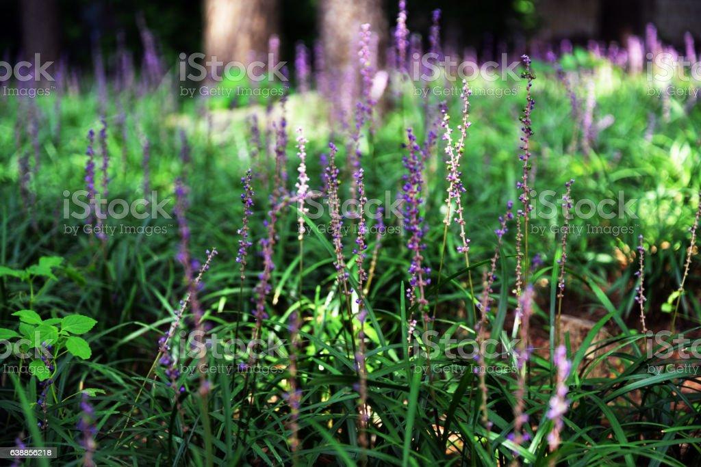 Liriope Muscari Flower stock photo