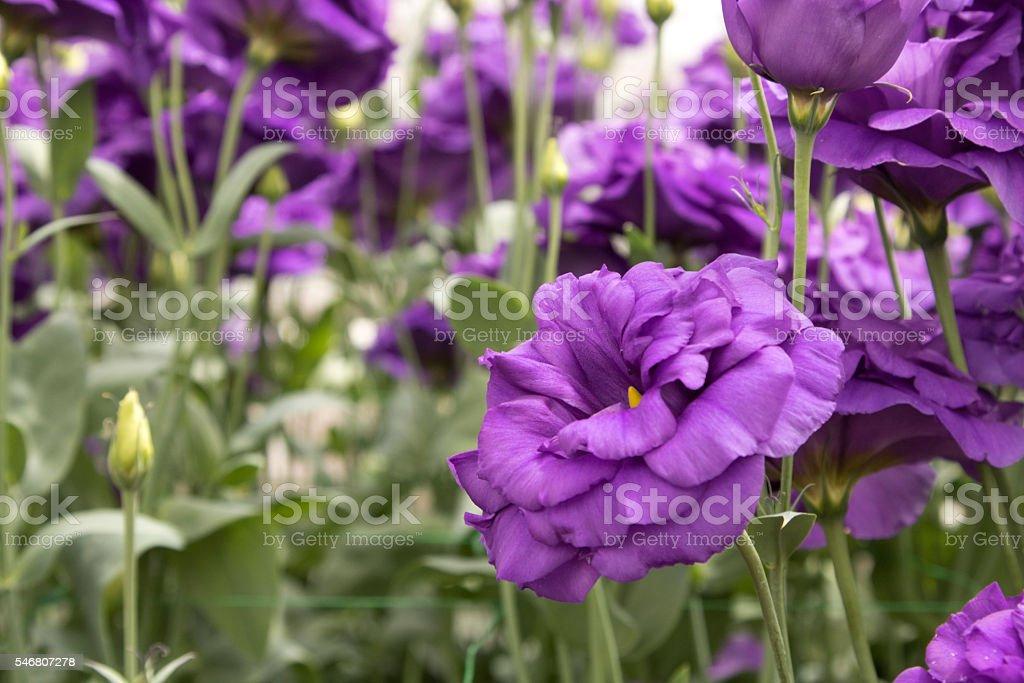 Lisanthus, Purple Flowers bloom in a garden stock photo