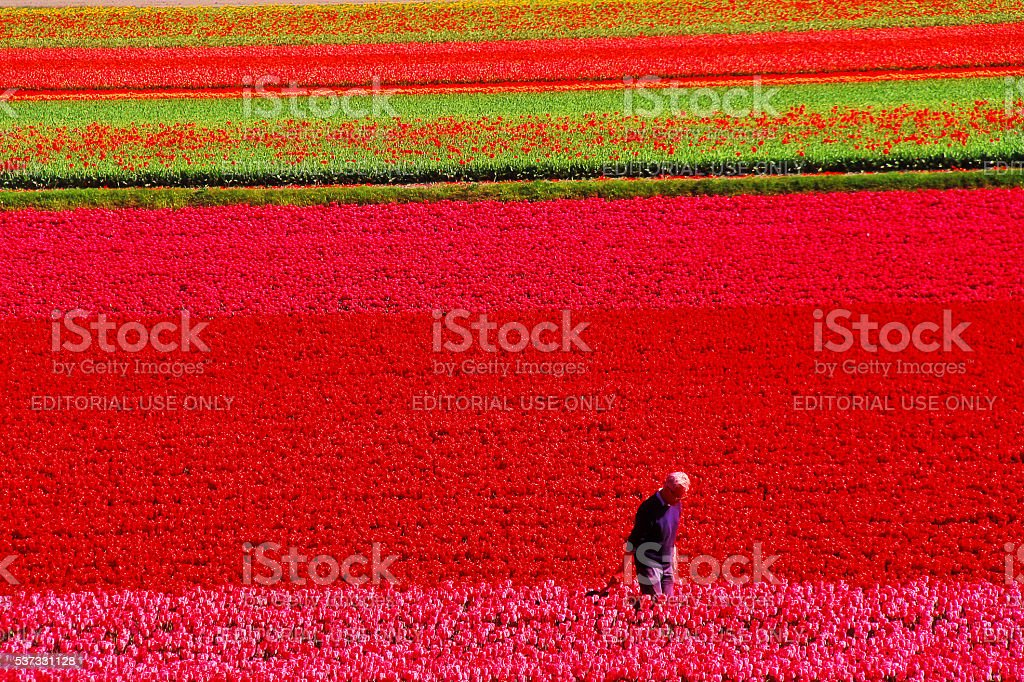 Lisse, Netherlands - May 05, 2016 - Keukenhof garden stock photo