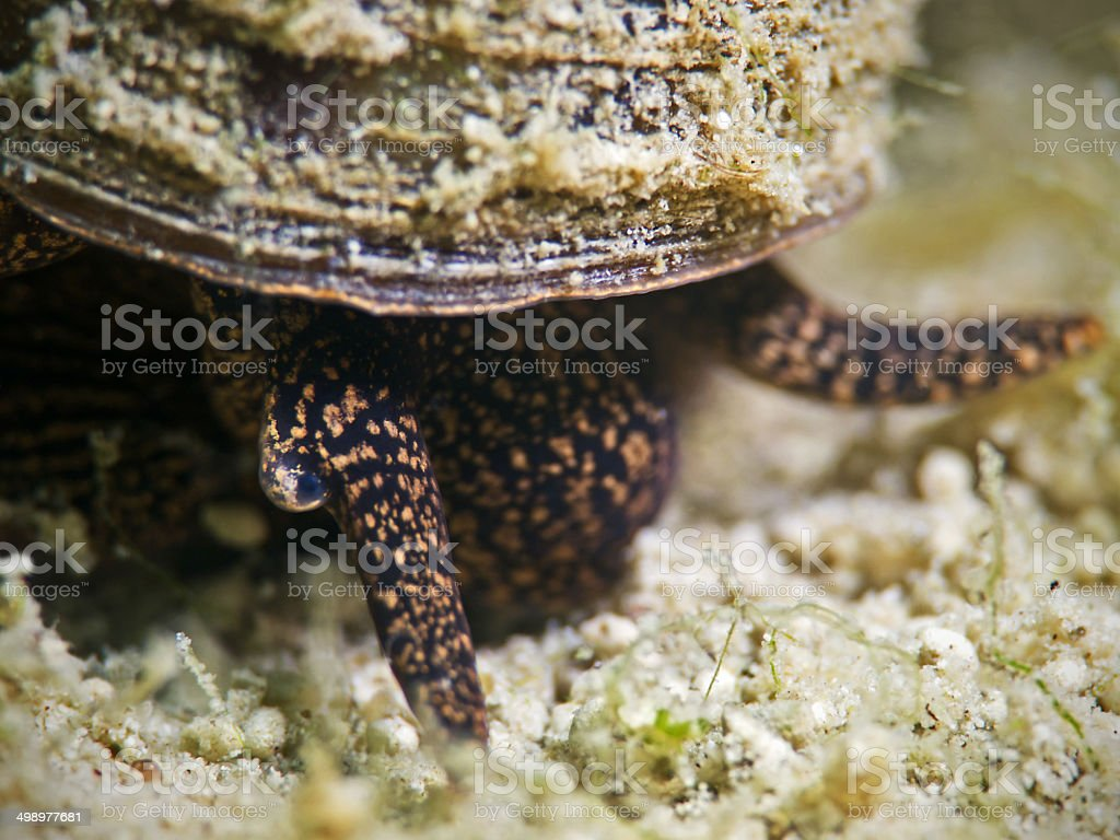 Lister's river snail, Spitze Sumpfdeckelschnecke (Viviparus contectus) stock photo