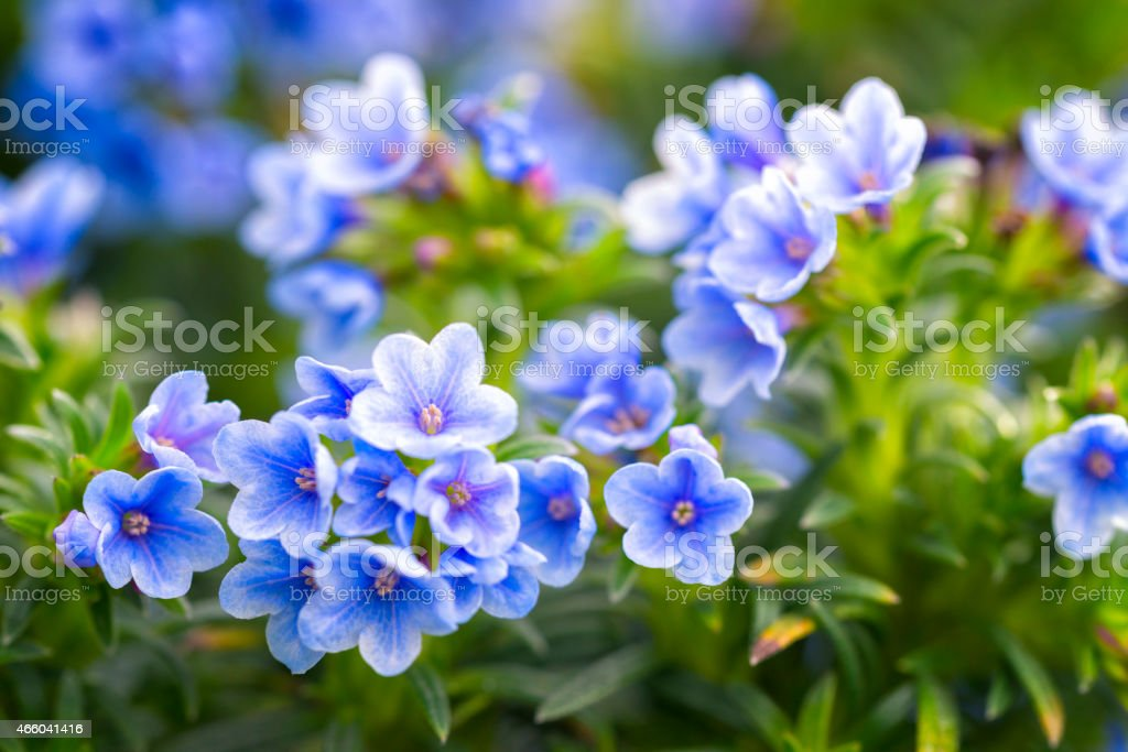 Lithodora zahnii stock photo