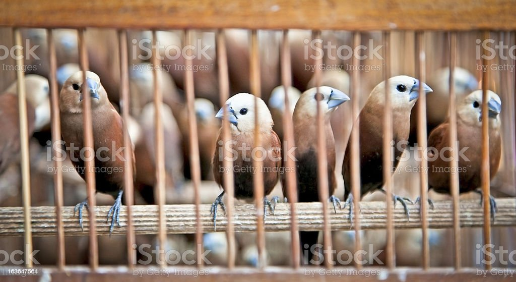 Litle birds in the cage. royalty-free stock photo
