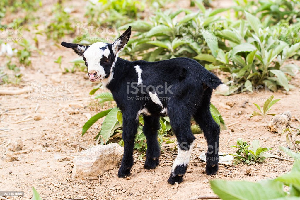 Litle goat stock photo