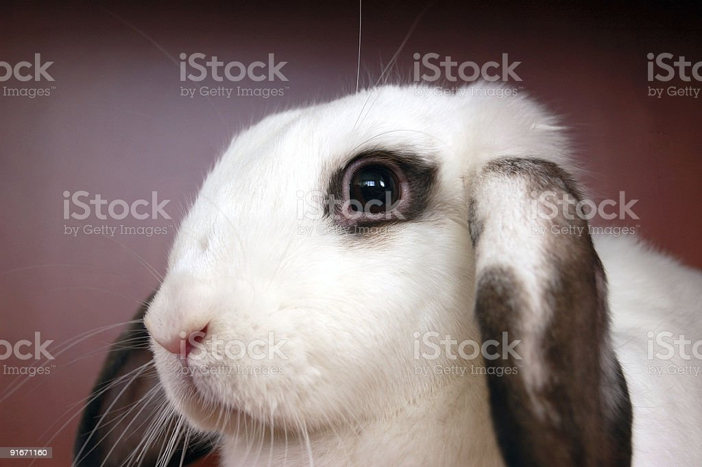 Litle rabbit royalty-free stock photo