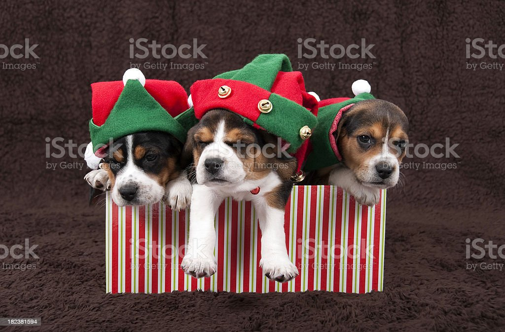 Litter Of Christmas Puppies royalty-free stock photo