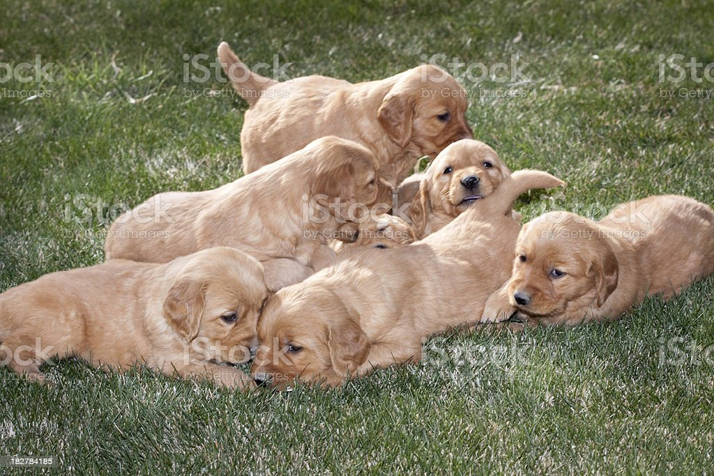 Litter of Cute Playful Puppies royalty-free stock photo