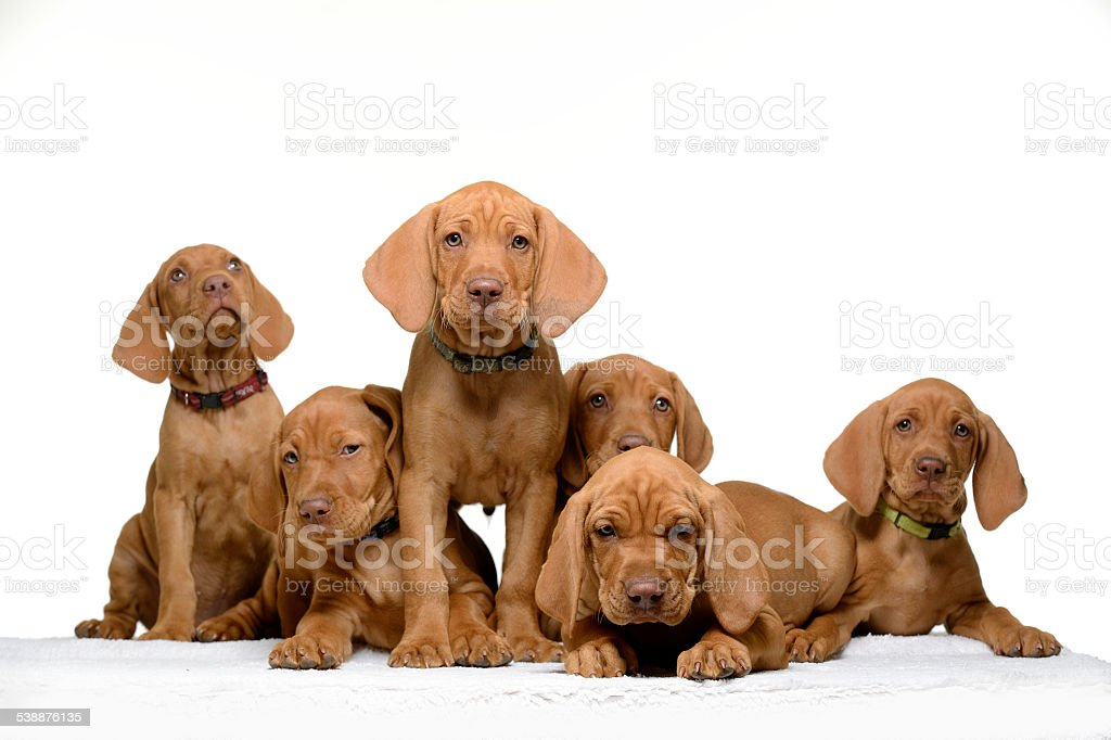 Litter of cute Vizla puppies looking at camera stock photo
