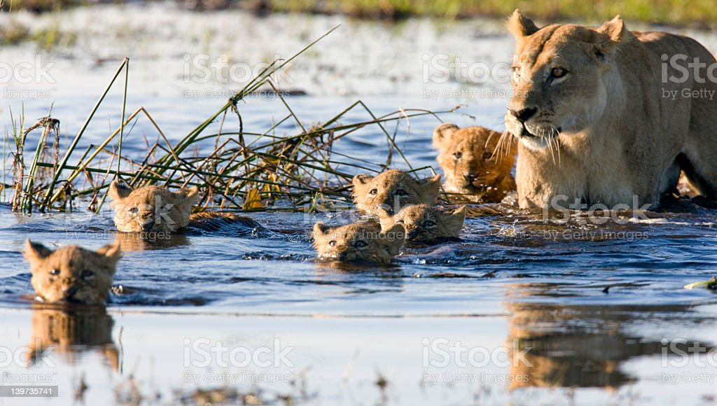 Litter of lion cubs swimming with their mother stock photo