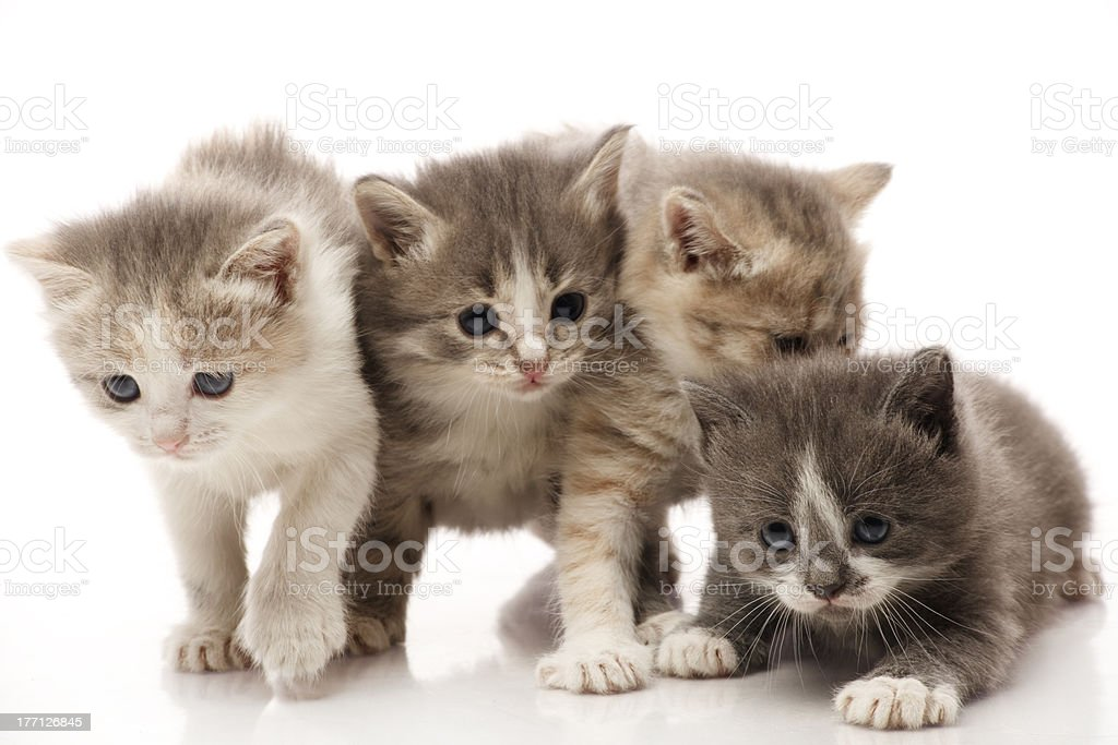 Little 1 month old kittens royalty-free stock photo