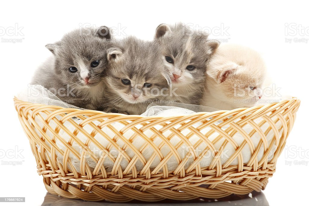 Little 3 week old kittens in the wicker stock photo
