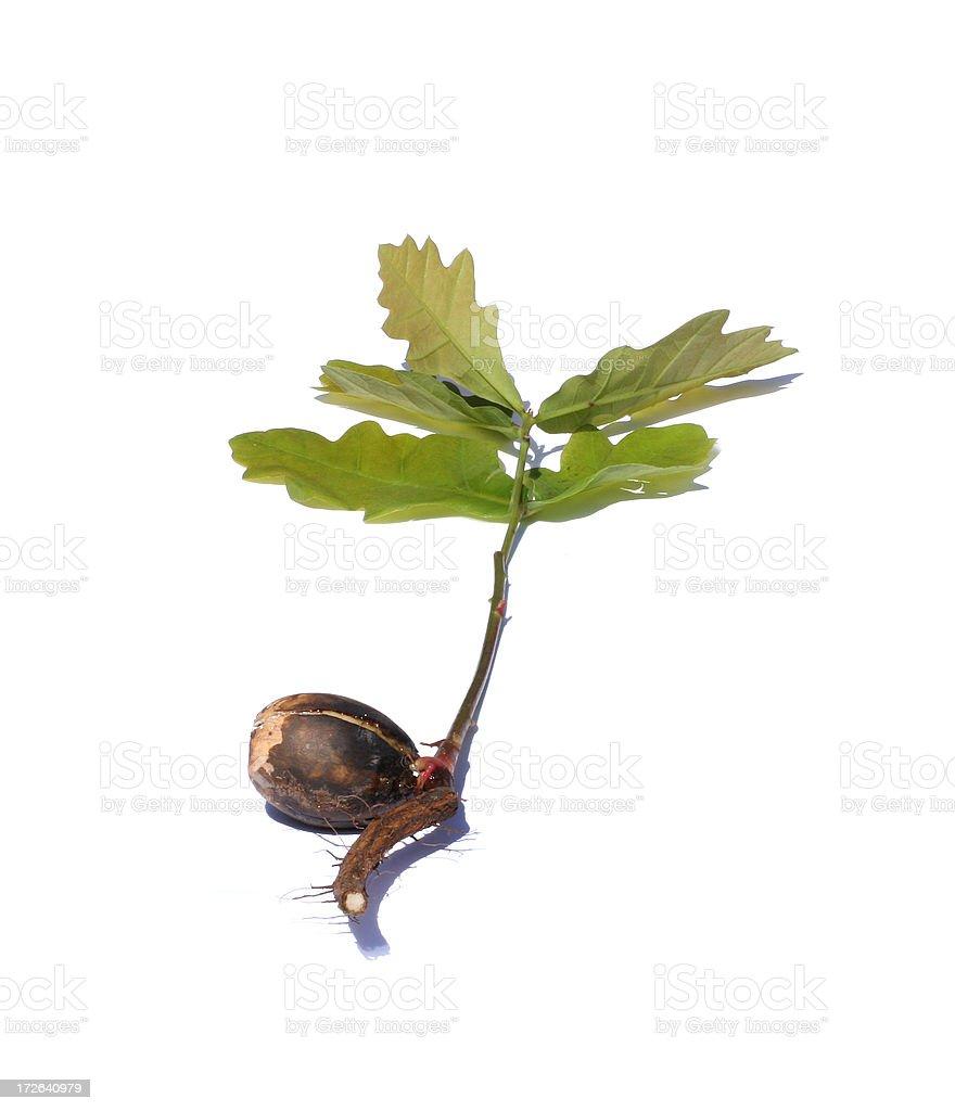 Little acorn into mighty oak royalty-free stock photo