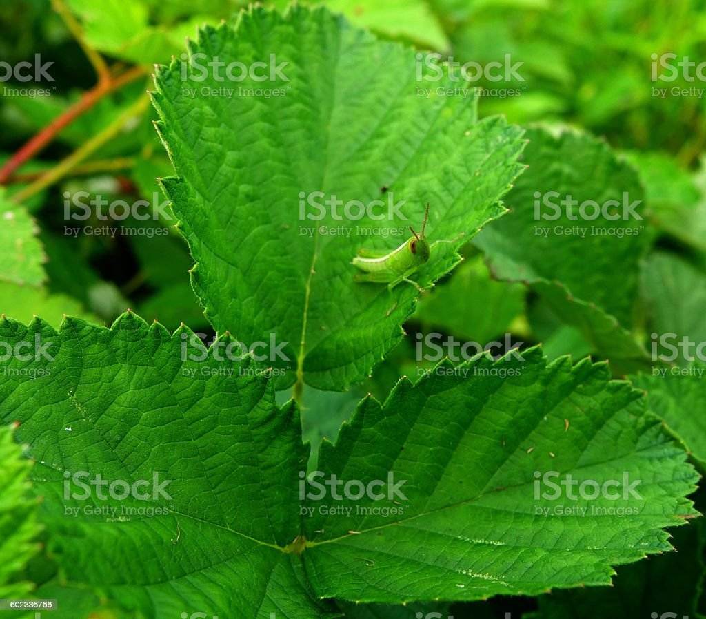 little Acrida cinerea on a leaf stock photo
