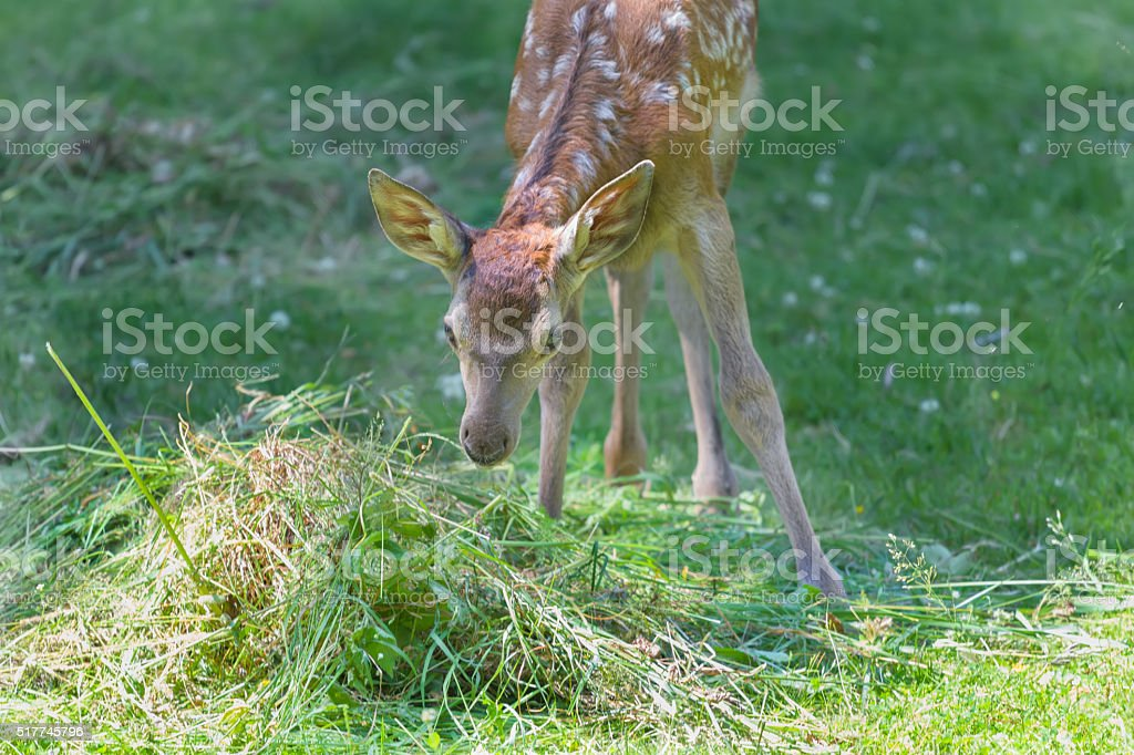 Little adorable fawn smelling green grass in summer meadow outdoors stock photo