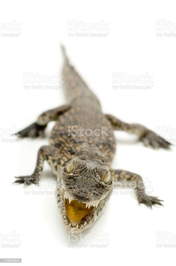 little alligator stock photo