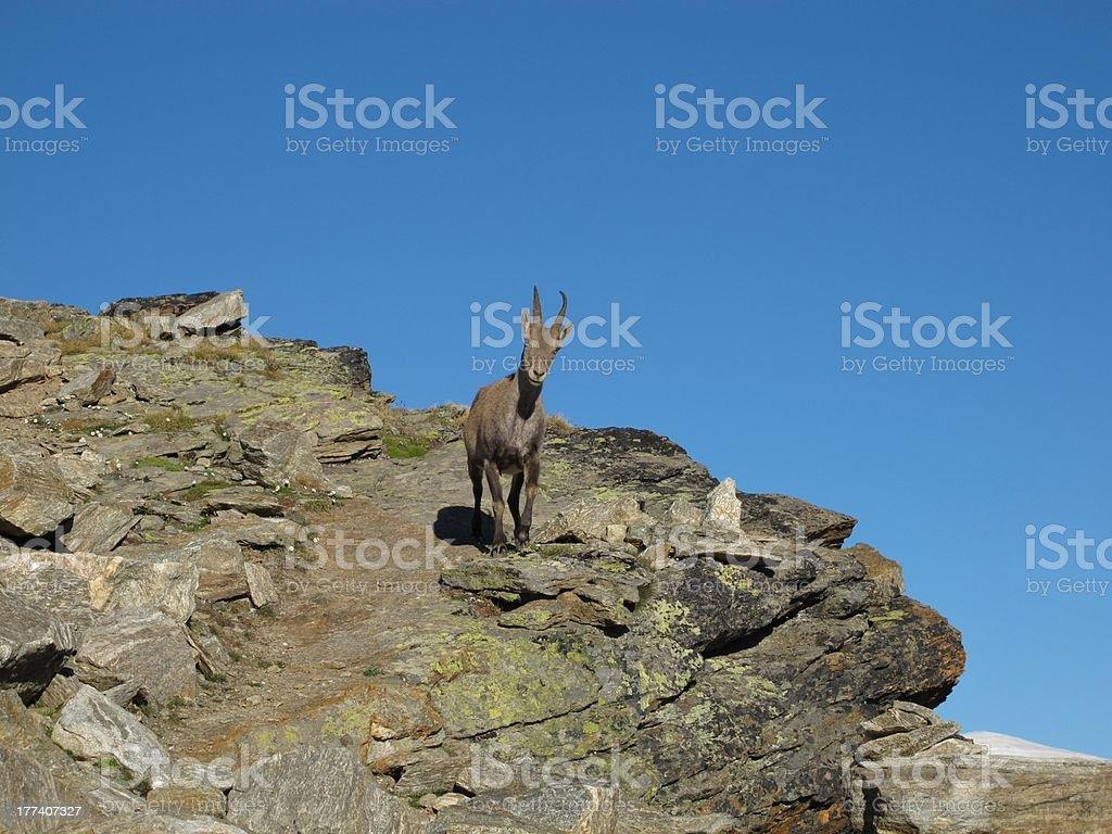 Little Alpine Ibex royalty-free stock photo