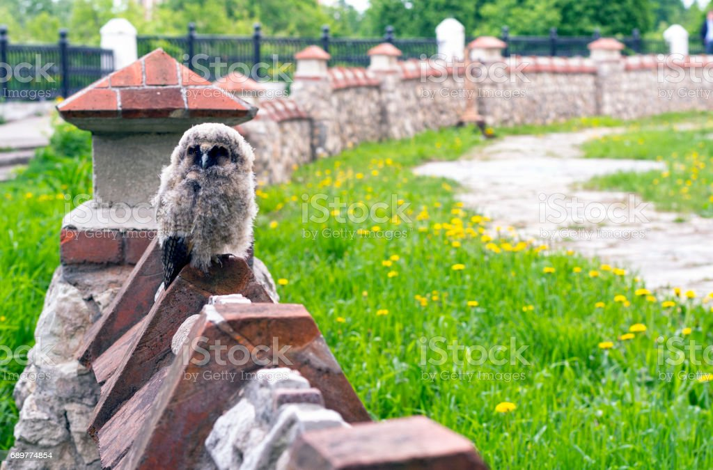 Little angry owl sitting on the fence stock photo