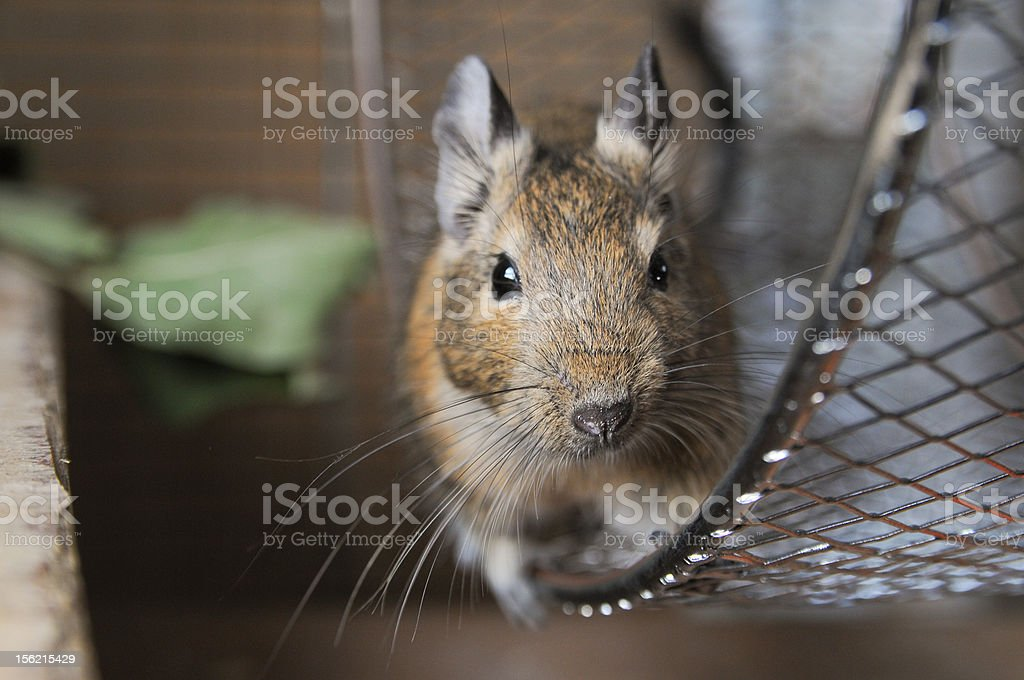 little animal called 'octon degus' stock photo