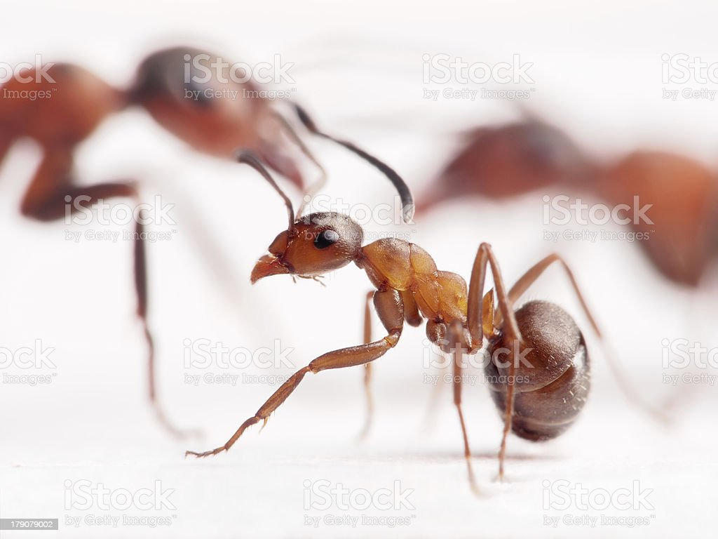little ant formica rufa and big ones at background royalty-free stock photo