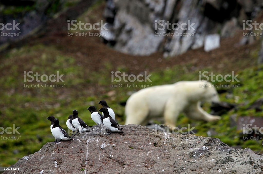 Little Auks and polar bear in summer Arctic stock photo