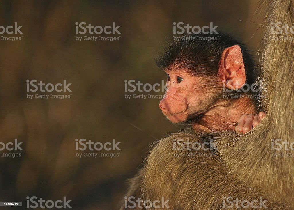 little baboon royalty-free stock photo