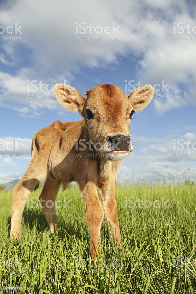 little baby cow stock photo