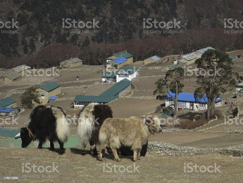 Little baby yaks in Phortse royalty-free stock photo