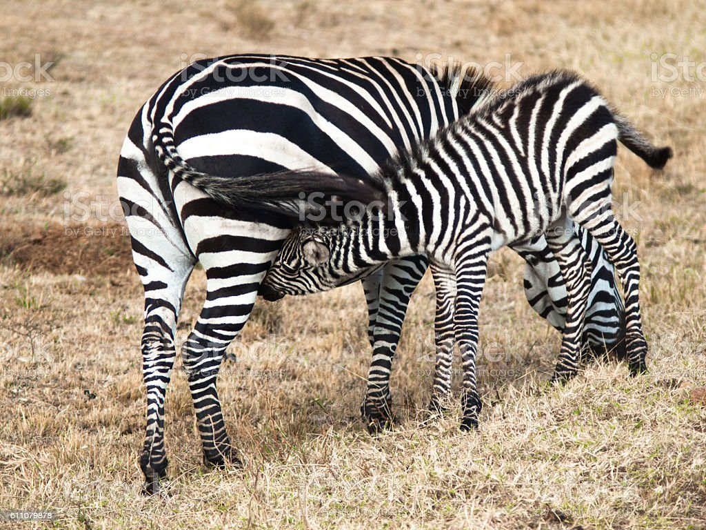 Little baby zebra is about mothers and sucks milk stock photo