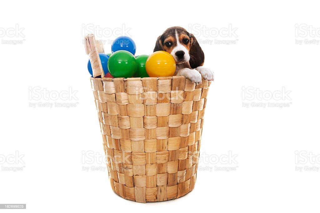 little beagle stock photo
