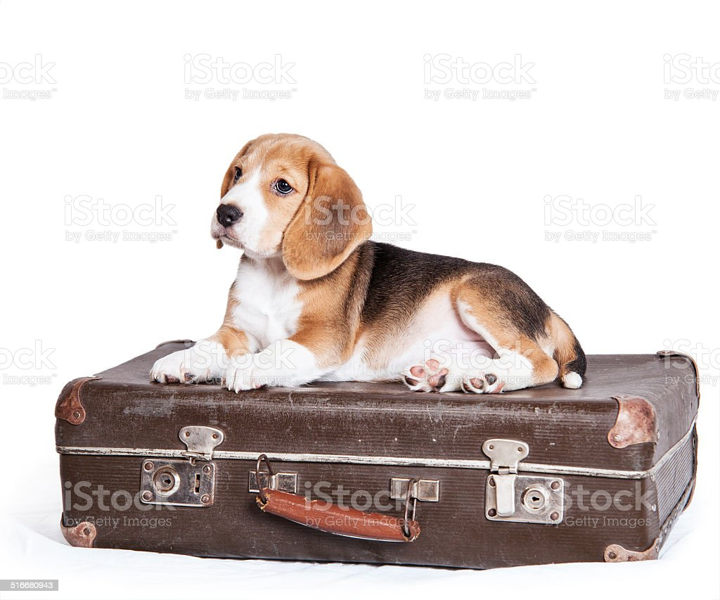 Little beagle puppy on the old suitcase stock photo