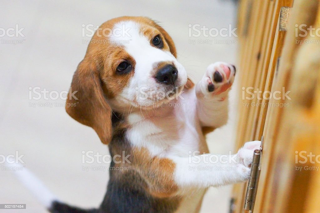 Little Beagle puppy stand up and give me five stock photo