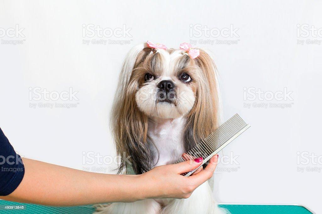 Little beauty shih-tzu dog at the groomer's hand stock photo