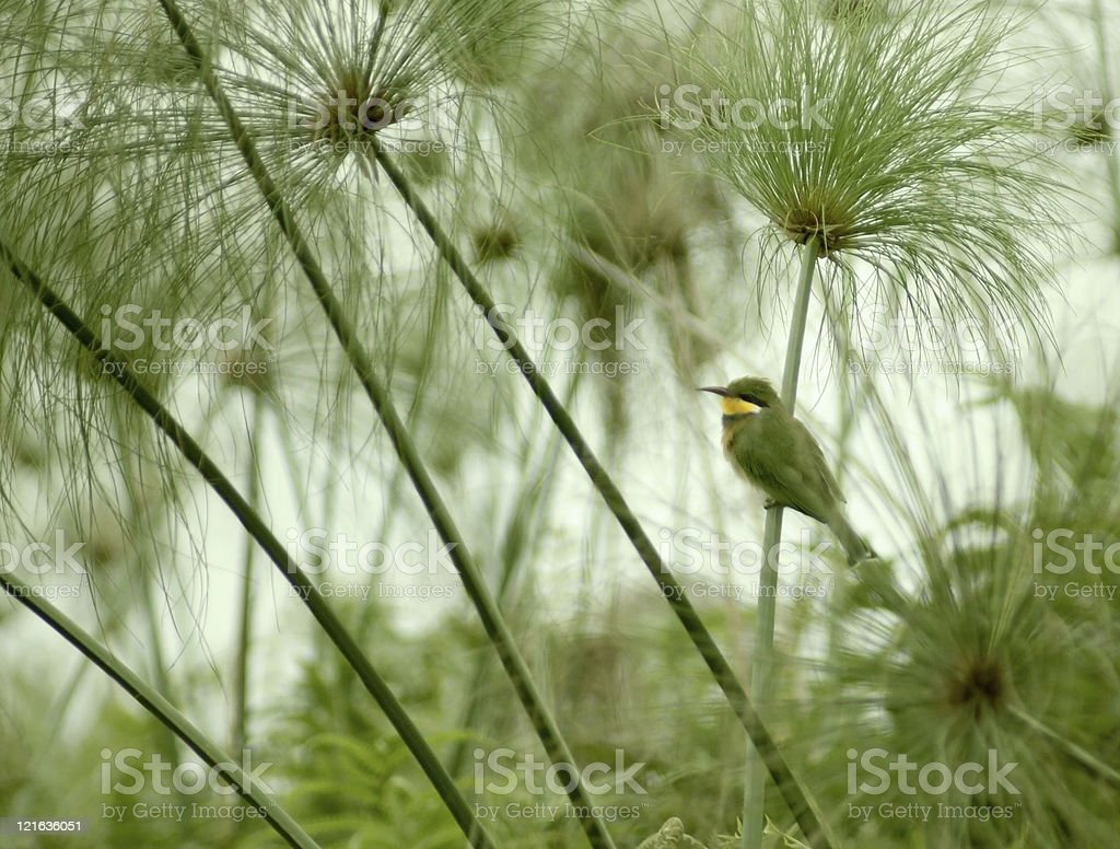 little Bee-eater and Papyrus plants royalty-free stock photo
