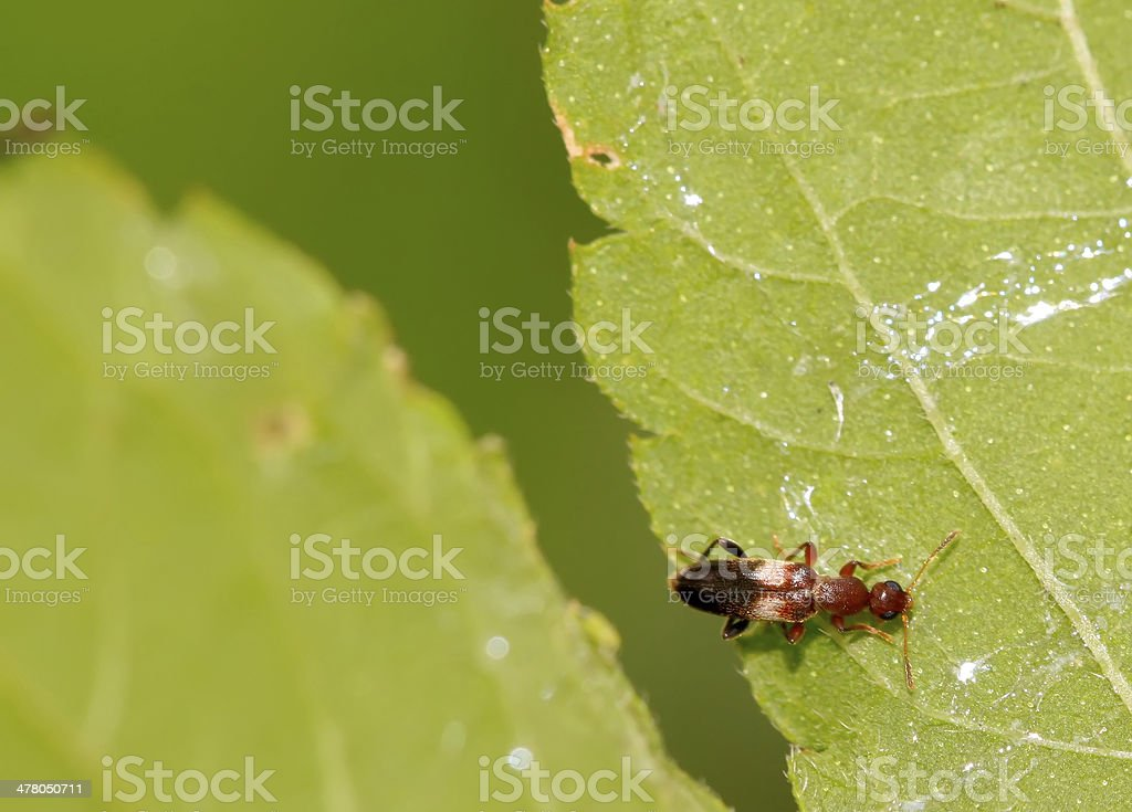 little beetle on the leaf royalty-free stock photo
