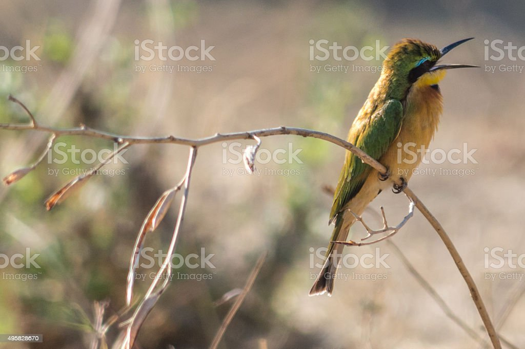 Little bird chirping on branch stock photo