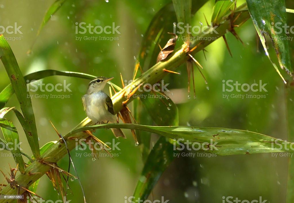 little bird in the rain stock photo
