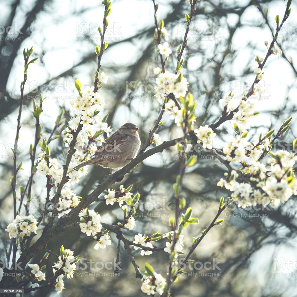 Little bird is sitting on a flowerful branch in spring stock photo