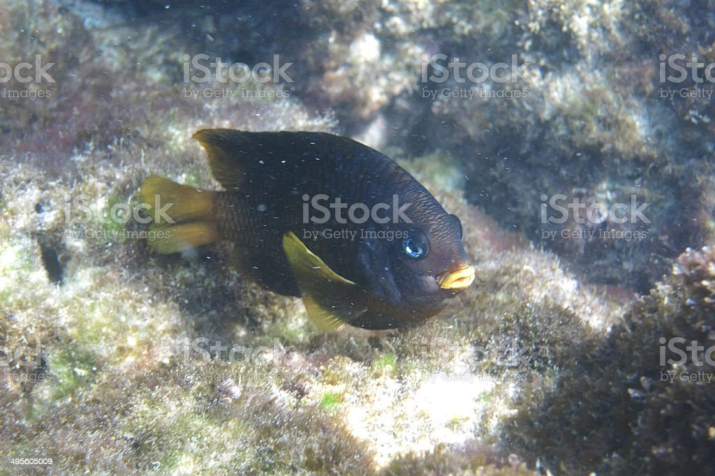 Little black and yellow fish royalty-free stock photo