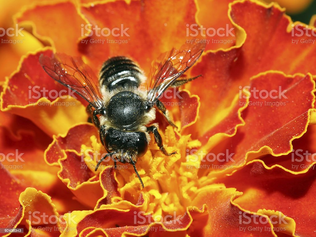 Little black bee stock photo