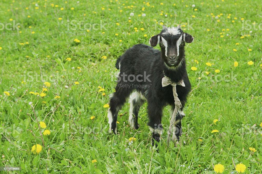 little black goat stock photo