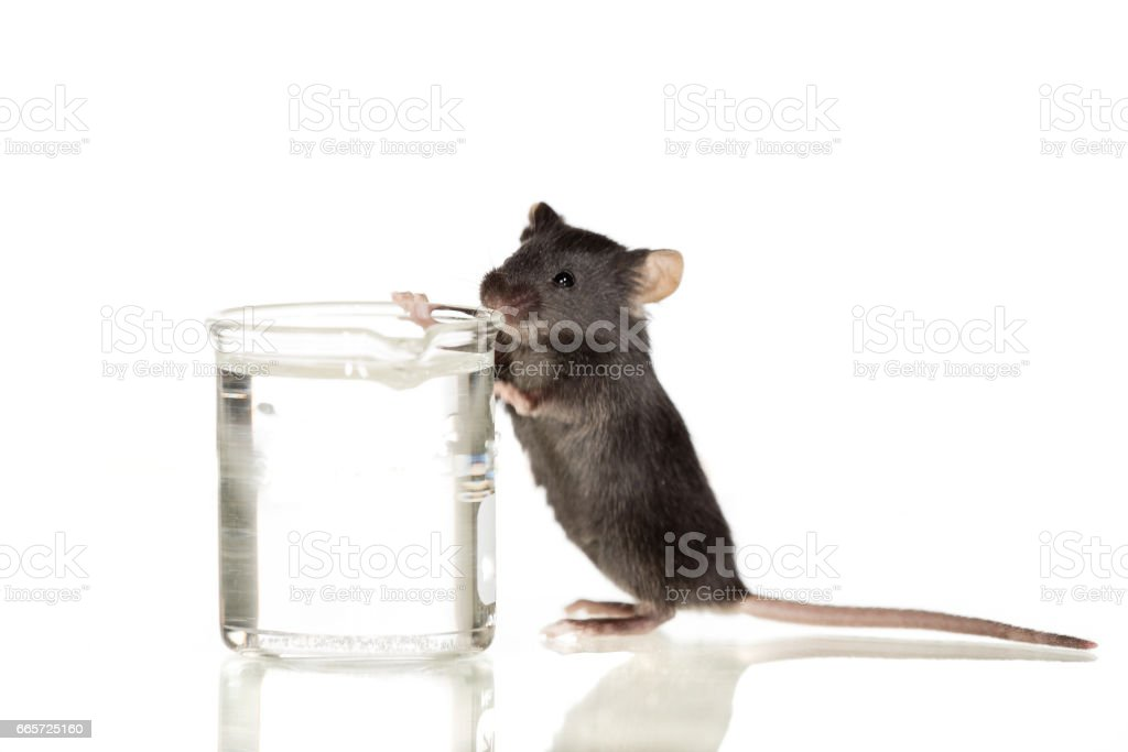 little black mouse with infinite white backround stock photo