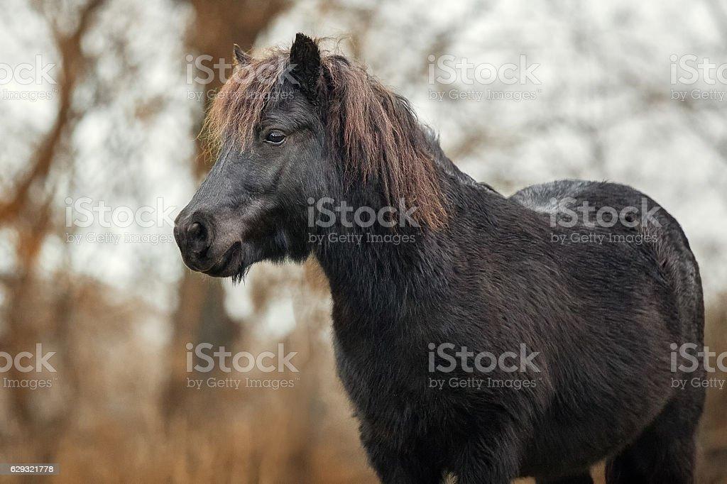 Little black Shetland pony stock photo