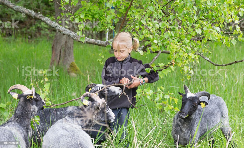 Little blond boy feeding branches with fresh leaves to sheep. stock photo