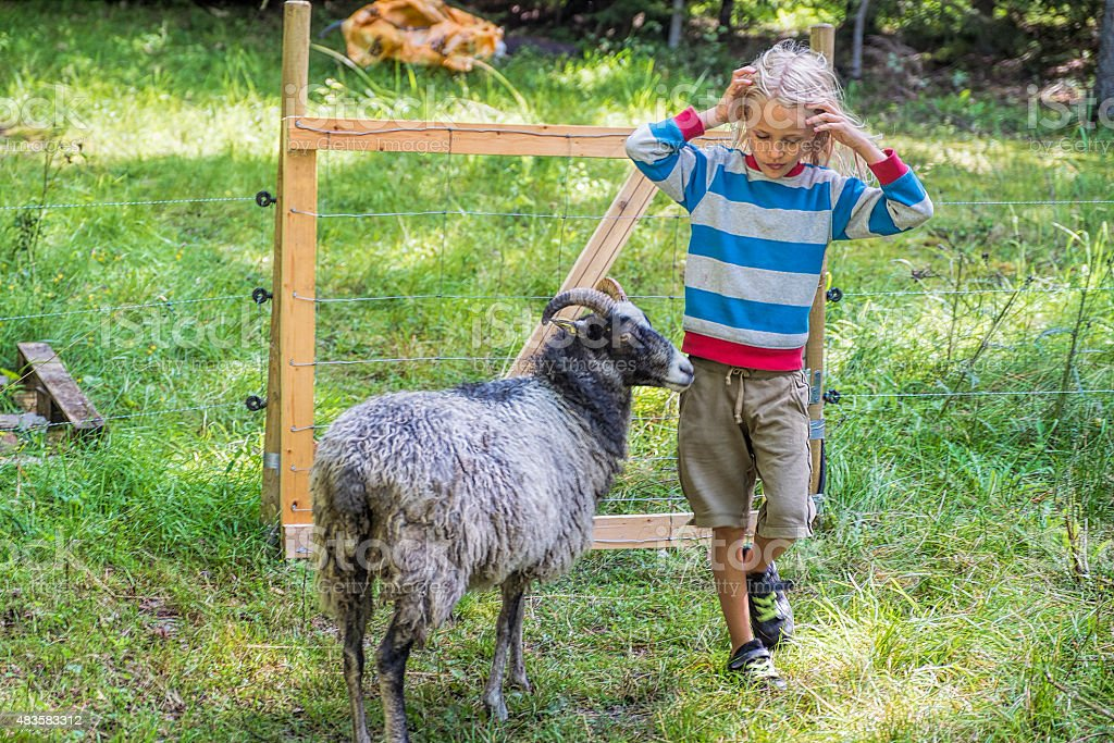 Little blond boy meeting sheep in the pasture. stock photo