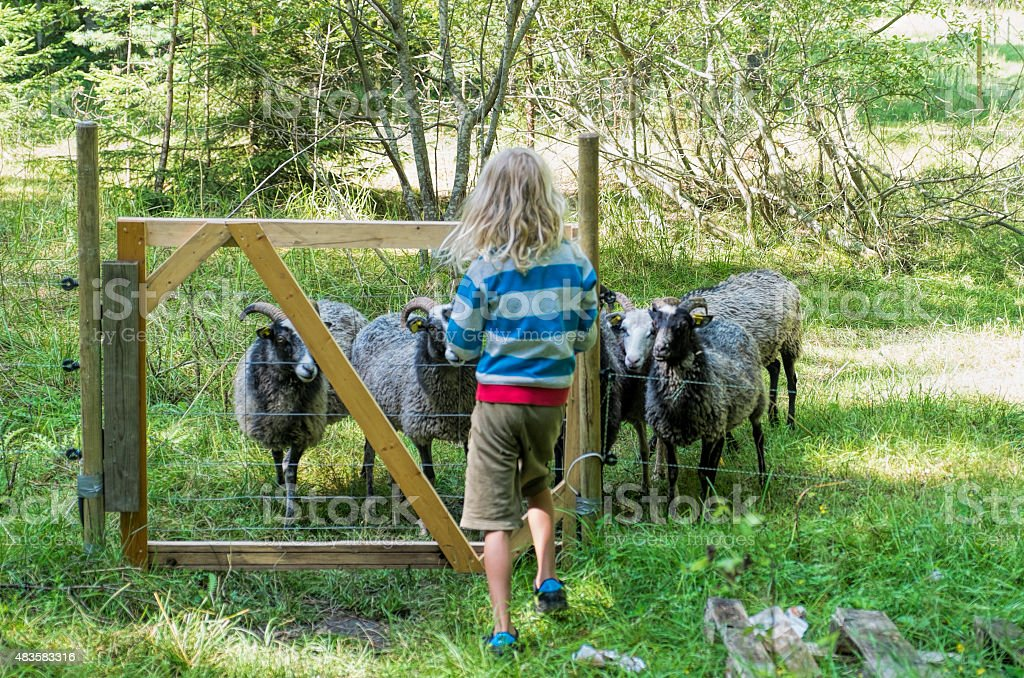 Little blond boy opening gate to sheep pasture. stock photo