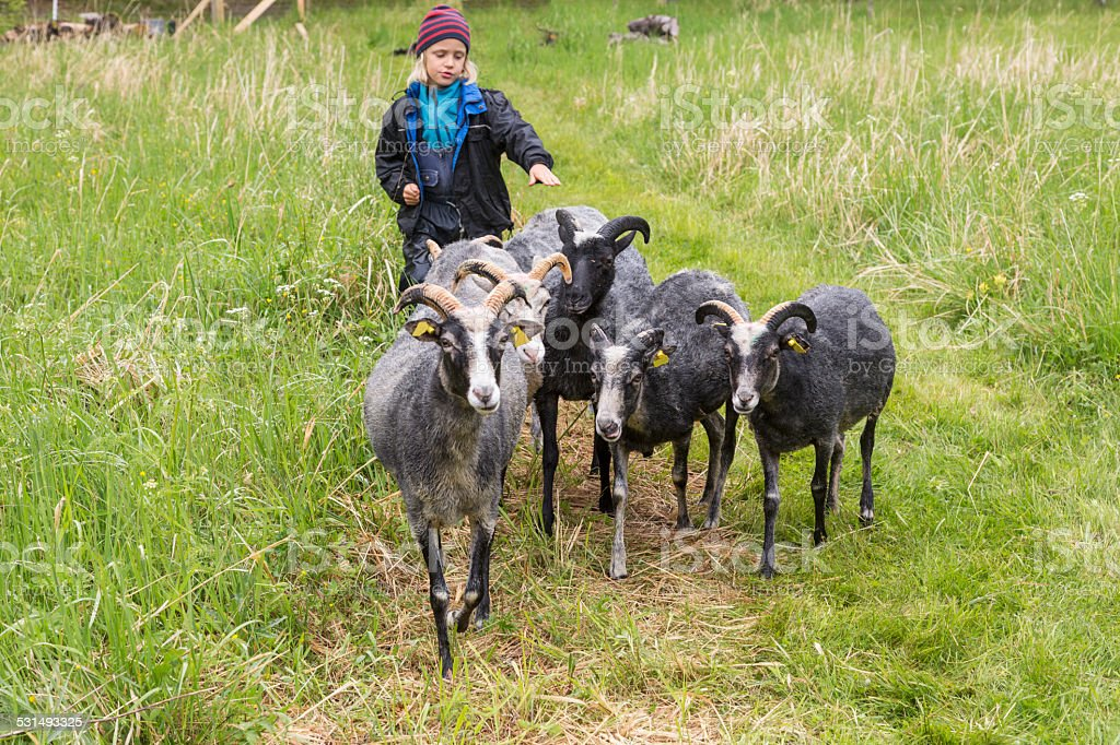 Little blond boy tending sheep in the meadow. stock photo