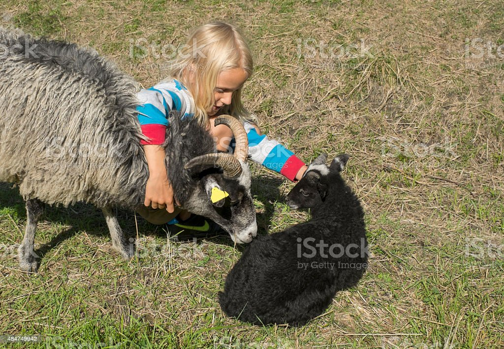 Little blond boy with sheep in the pasture. stock photo