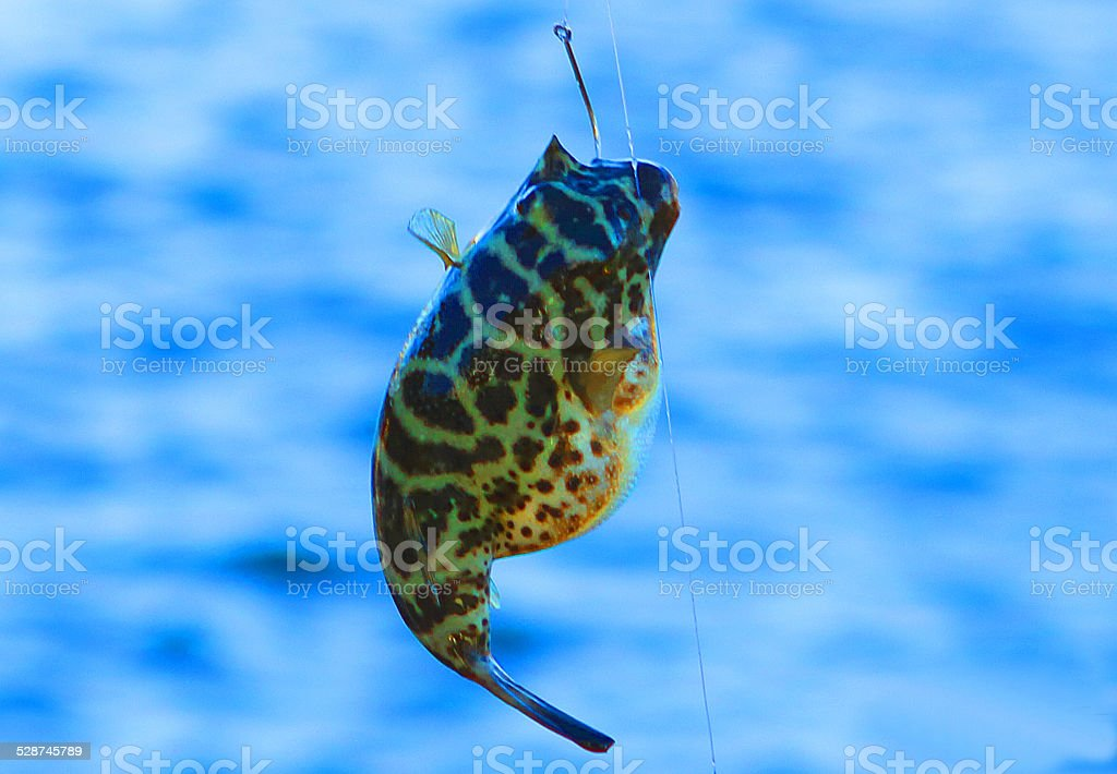Little Blowfish royalty-free stock photo