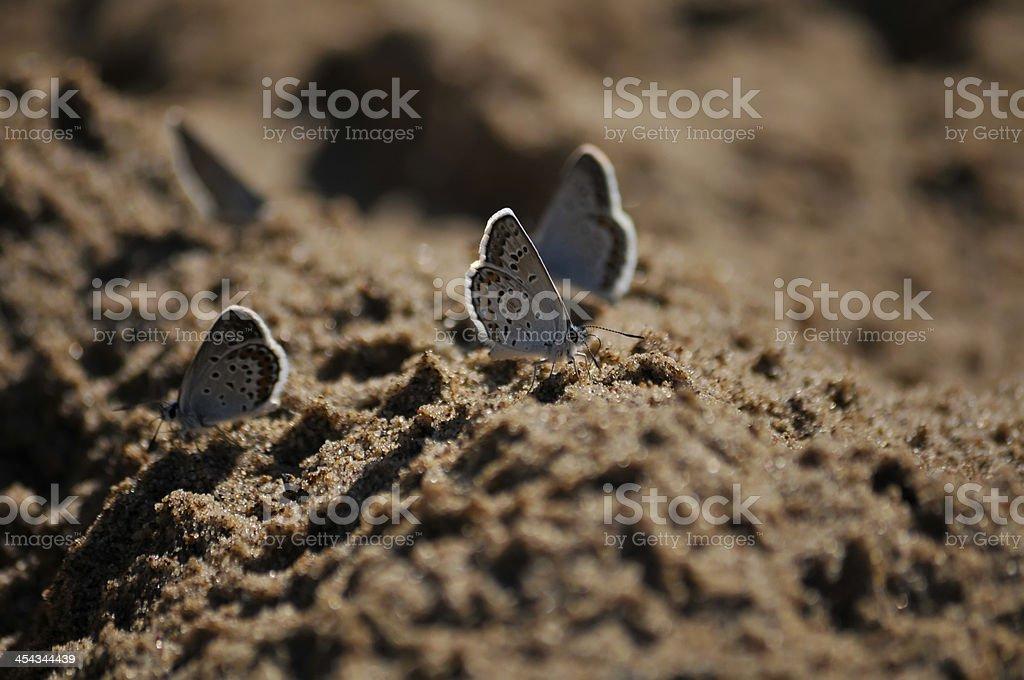 little blue butterflies royalty-free stock photo