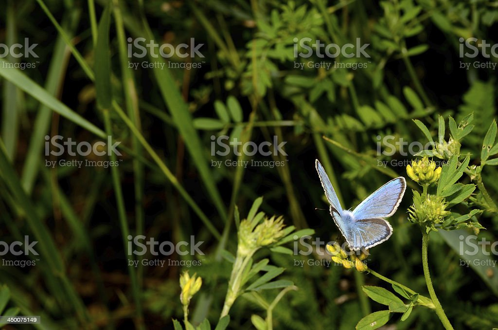 little blue butterfly royalty-free stock photo